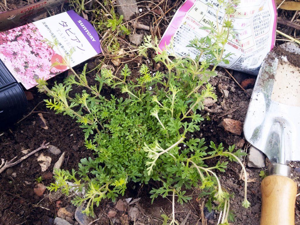 タピアンの植え込み(5):穴に苗を入れて根を埋める