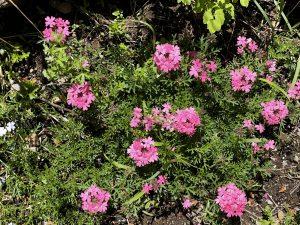 開花した4月植込みのタピアン(ローズ)を植え方見たところ