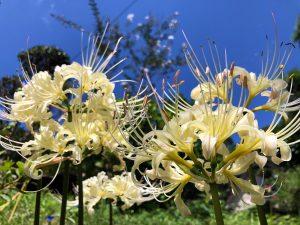 青空と白い彼岸花