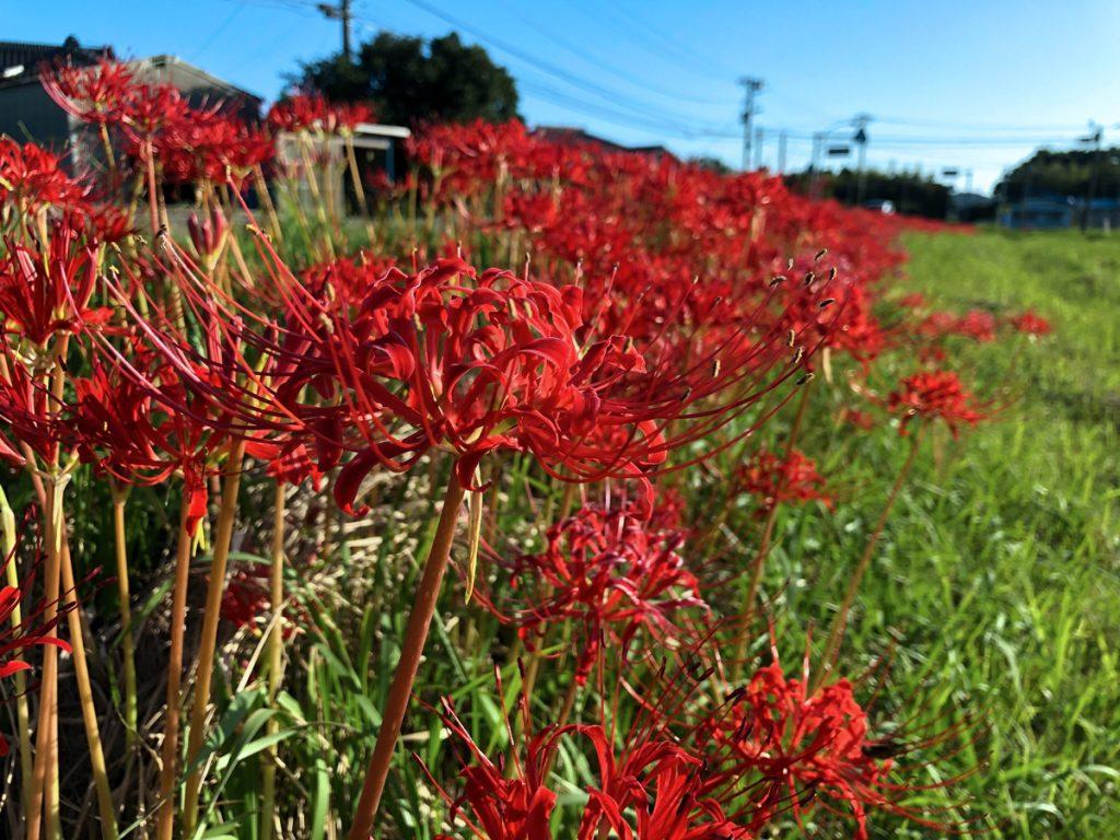 畦道の彼岸花(赤)