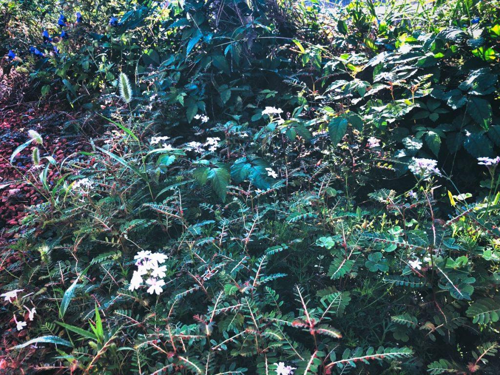 雑草と共生するタピアン(2)